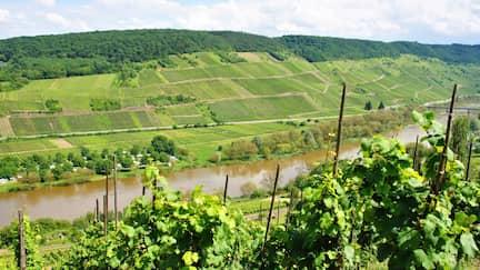 Grüner Weinhang an der Mosel