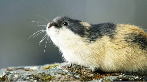 Die kleinen Giganten des Nordens: Das Geheimnis der Lemminge
