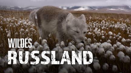 Polarfuchs im Wollgras
