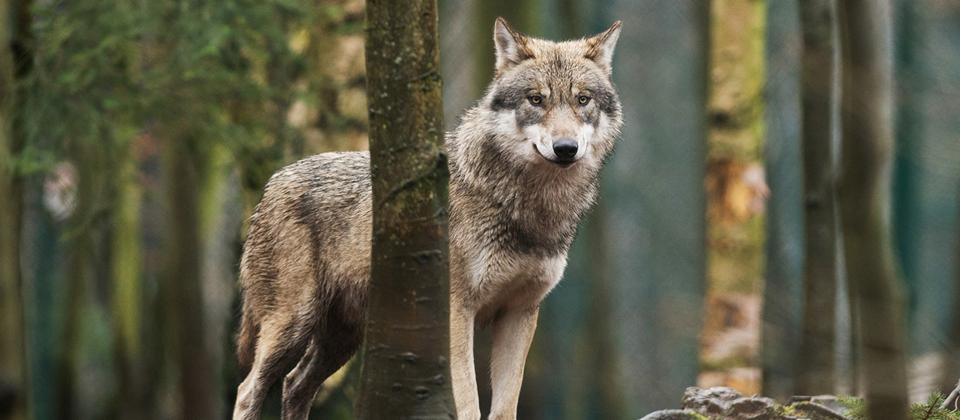 Symbolbild - EinWolf steht in einem Wald (Bild: dpa/Klaus-Dietmar Gabbert)