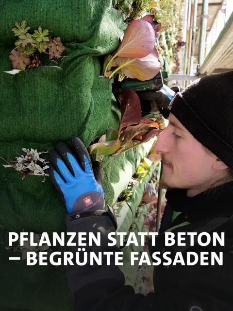 Monteur Bela Namyslik von Vertiko setzt eine von 4.000 Pflanzen an eine neue grüne Fassade in Heidelberg.