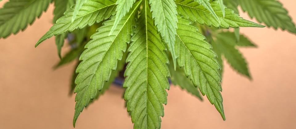 Gesundheit: Cannabis als Medizin