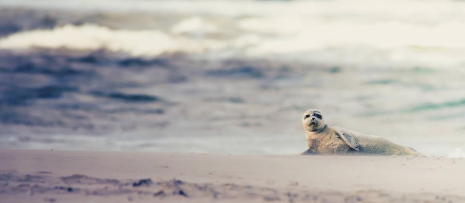 Robbe am Strand.