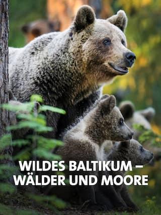 Braunbären Familie im Wald