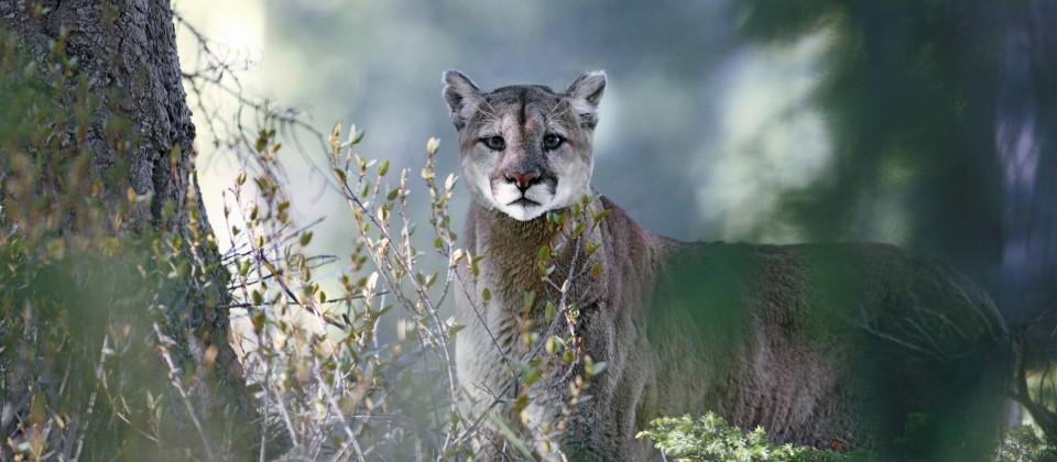 Ein Puma guckt aus dem Dickicht des Banff National Park direkt in die Kamera. (Quelle: imago images/All Canada Photos)