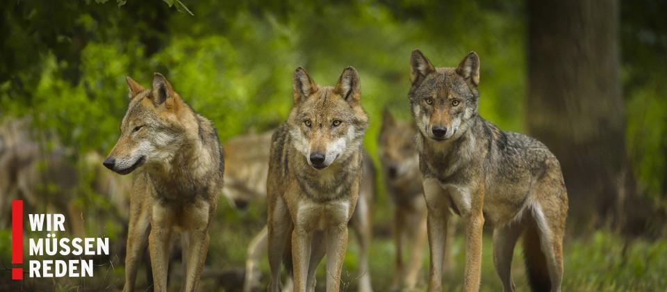 Europaeischer Wolf & Sendungslogo Wir müssen reden, Foto: imago/Blickwinkel