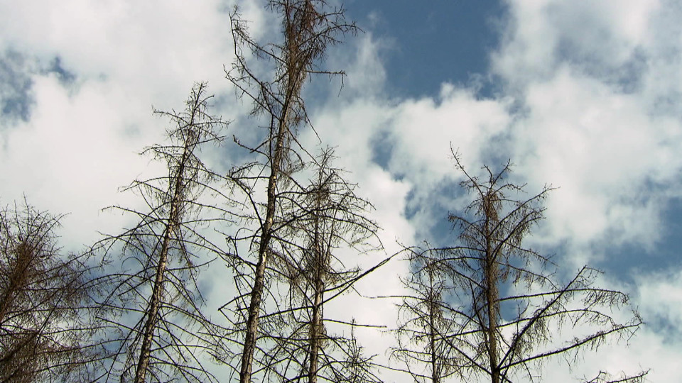 Kranke Nadelbäume