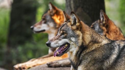 Ein Rudel Wölfe. (Quelle: imago images / alimdi)
