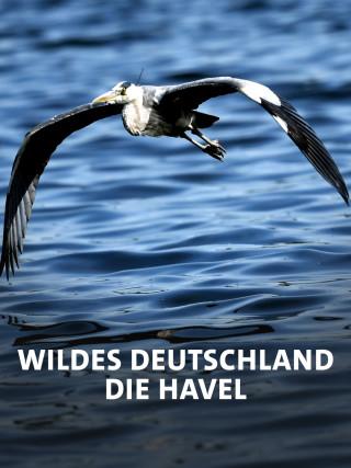 Fischreiher fliegt über die Havel