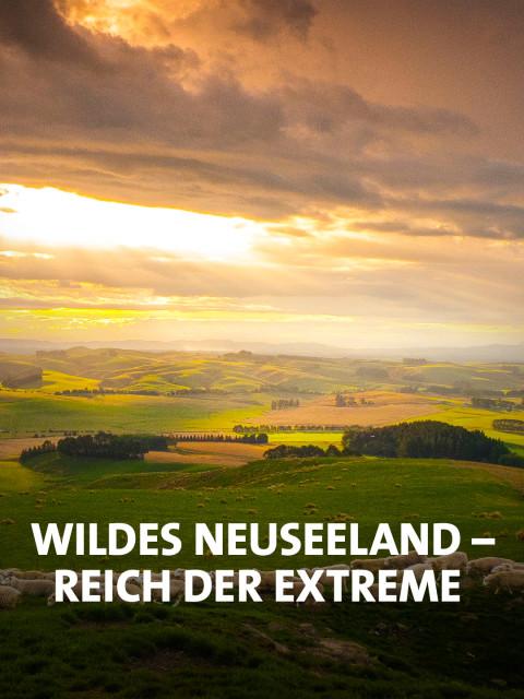 Neuseeländische Landschaft mit Schafherde
