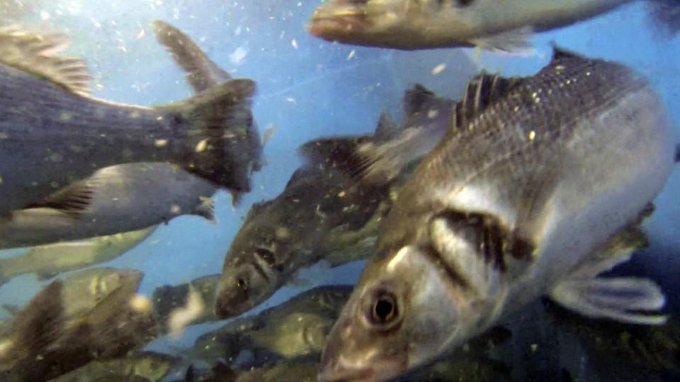 Fische in Fischzuchtanlage