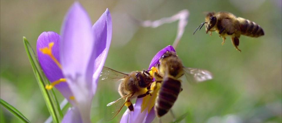 Bienen fliegen violette Krokusse an.