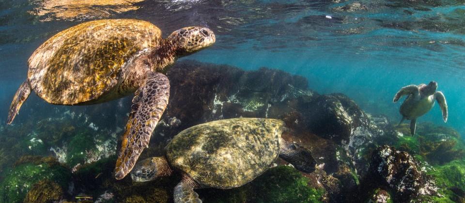 Riesenschildkröte vor den Galapagosinseln. (Quelle: imago images / Nature Picture Library)