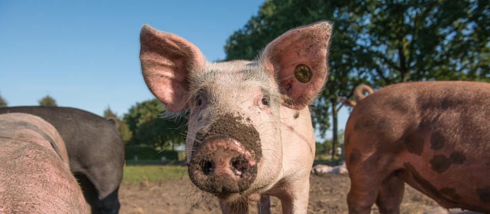 Biofleisch zwischen Tierwohl und Trittbrettfahrern