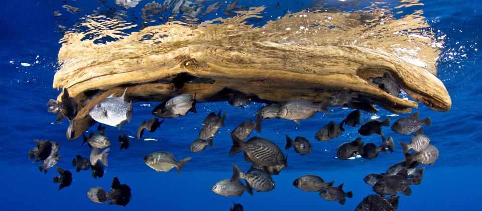 Ein simples Stück Treibholz bietet vielen Fischen Schutz und Deckung im offenen Meer.