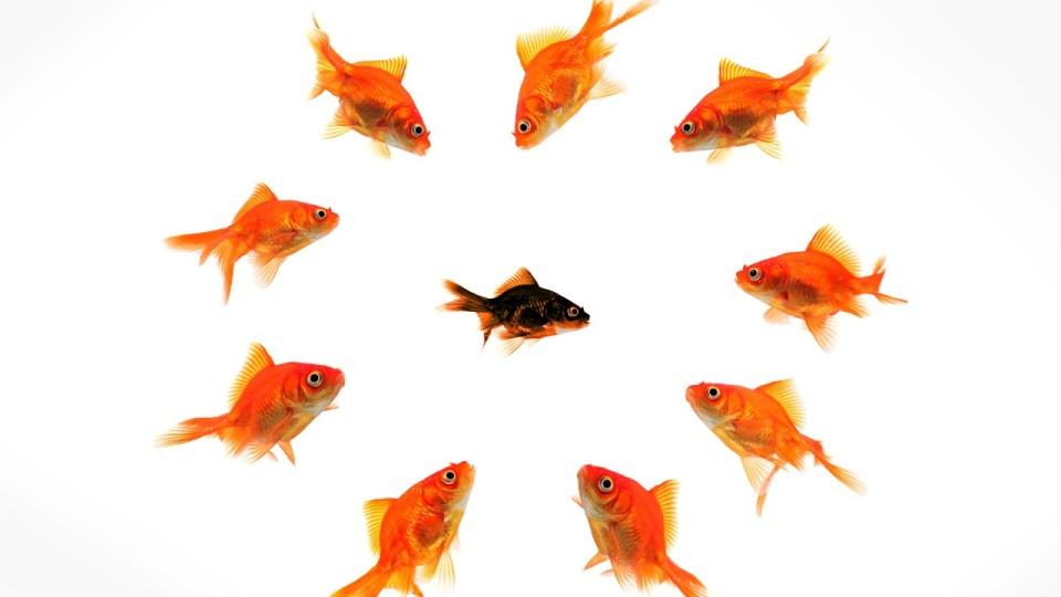 Goldfische isolieren andersfarbigen Fisch