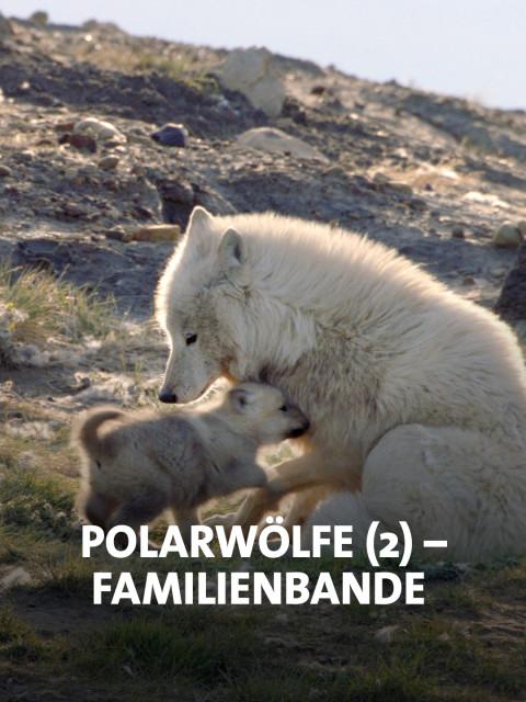 Weiße Wölfin mit Jungen