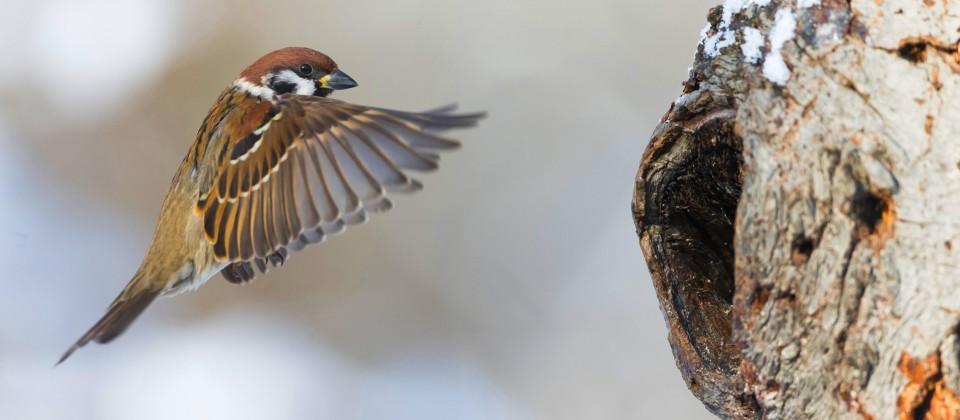 Spatz, der zu seinem Nest fliegt