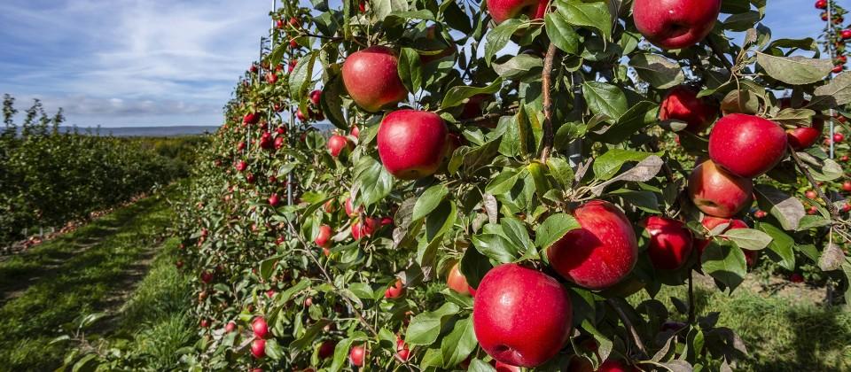 Apfelplantage, Bild: imago images / Design Pics