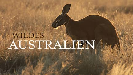 Känguru im Abendlicht