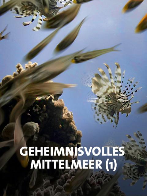 Rotfeuerfische im Mittelmeer