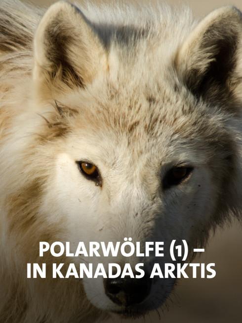Kanadischer weißer Wolf