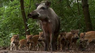 Eine Bache mit ihren Frischlingen | Hauptstadt der Wildschweine · Berlin