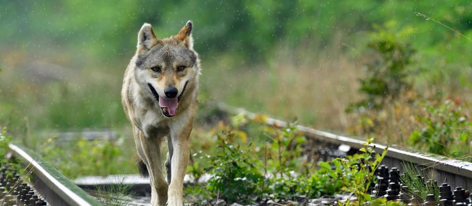 Wanderwolf Slawas zwischen den Gleisen einer stillgelegten Bahnstrecke