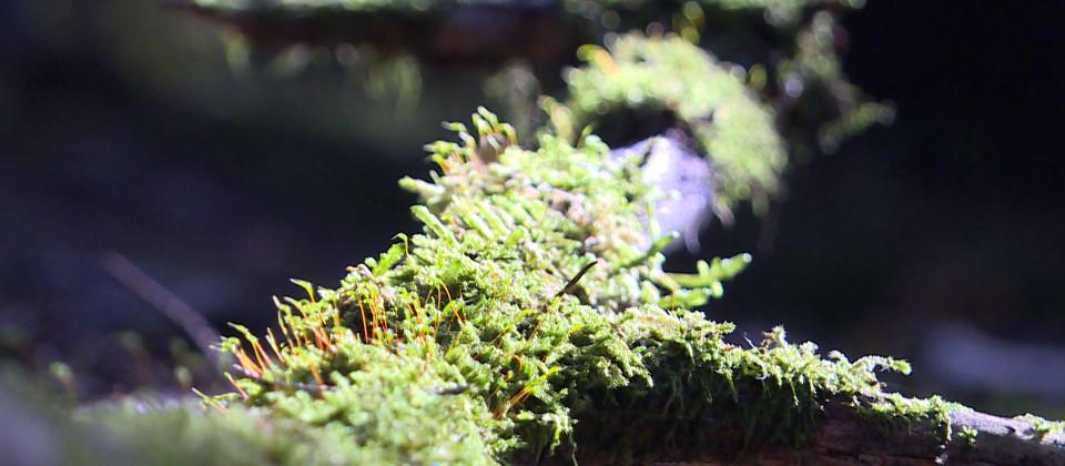Ein bemooster Ast im Wald