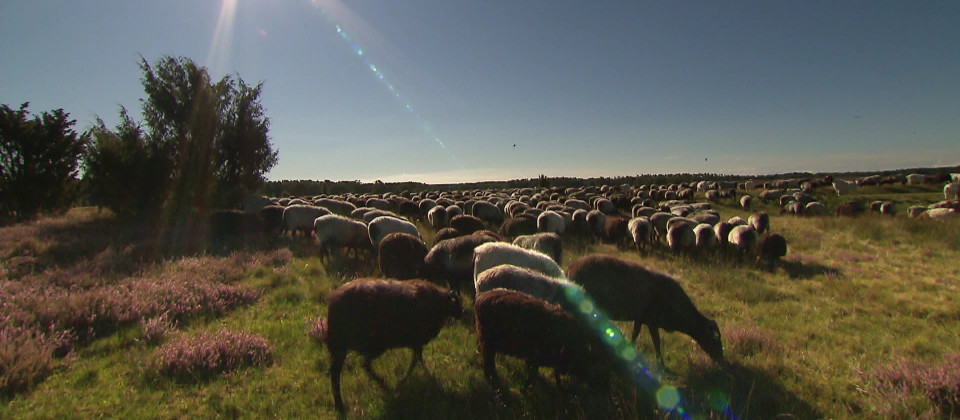 Schafe grasen auf der Lüneburger Heide